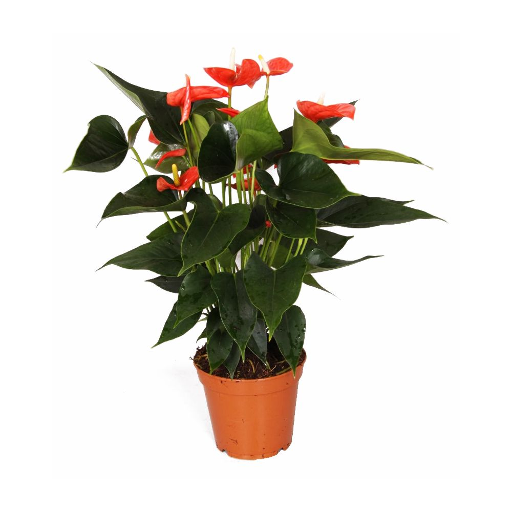 Anthurium orange 'Matiz'