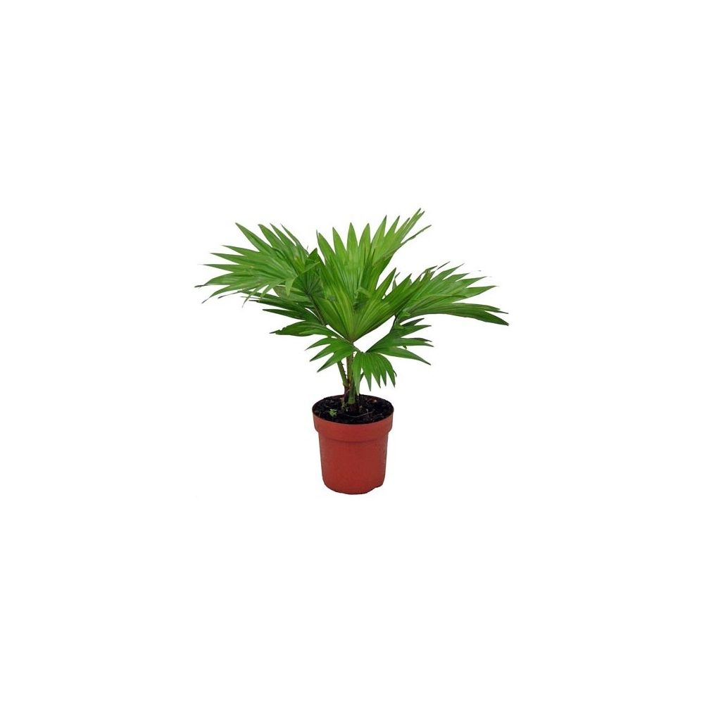 Palmier livingstonia rotundifolia en pot de 12cm hauteur for Quel palmier en pot exterieur
