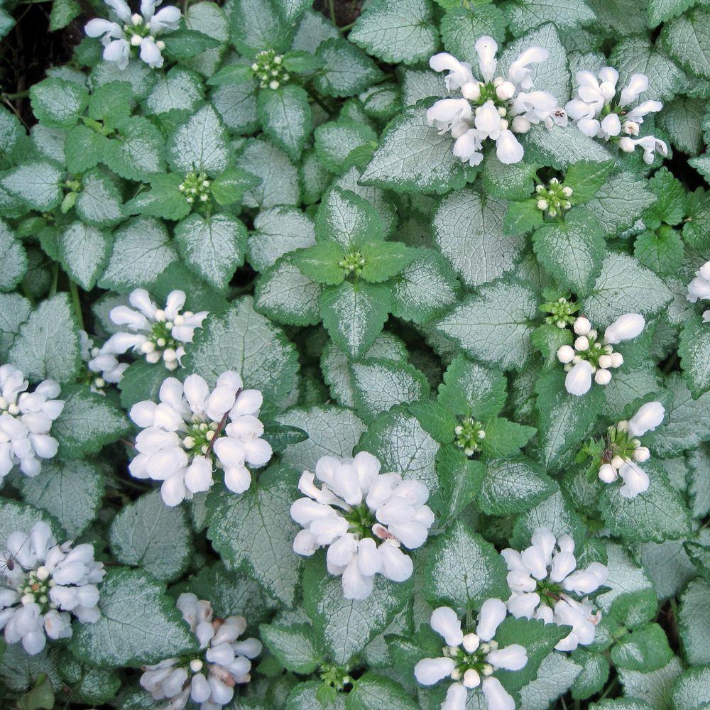 Lamium maculatum white nancy lot de 3 godets de 7 cm - Plante couvre sol ombre ...