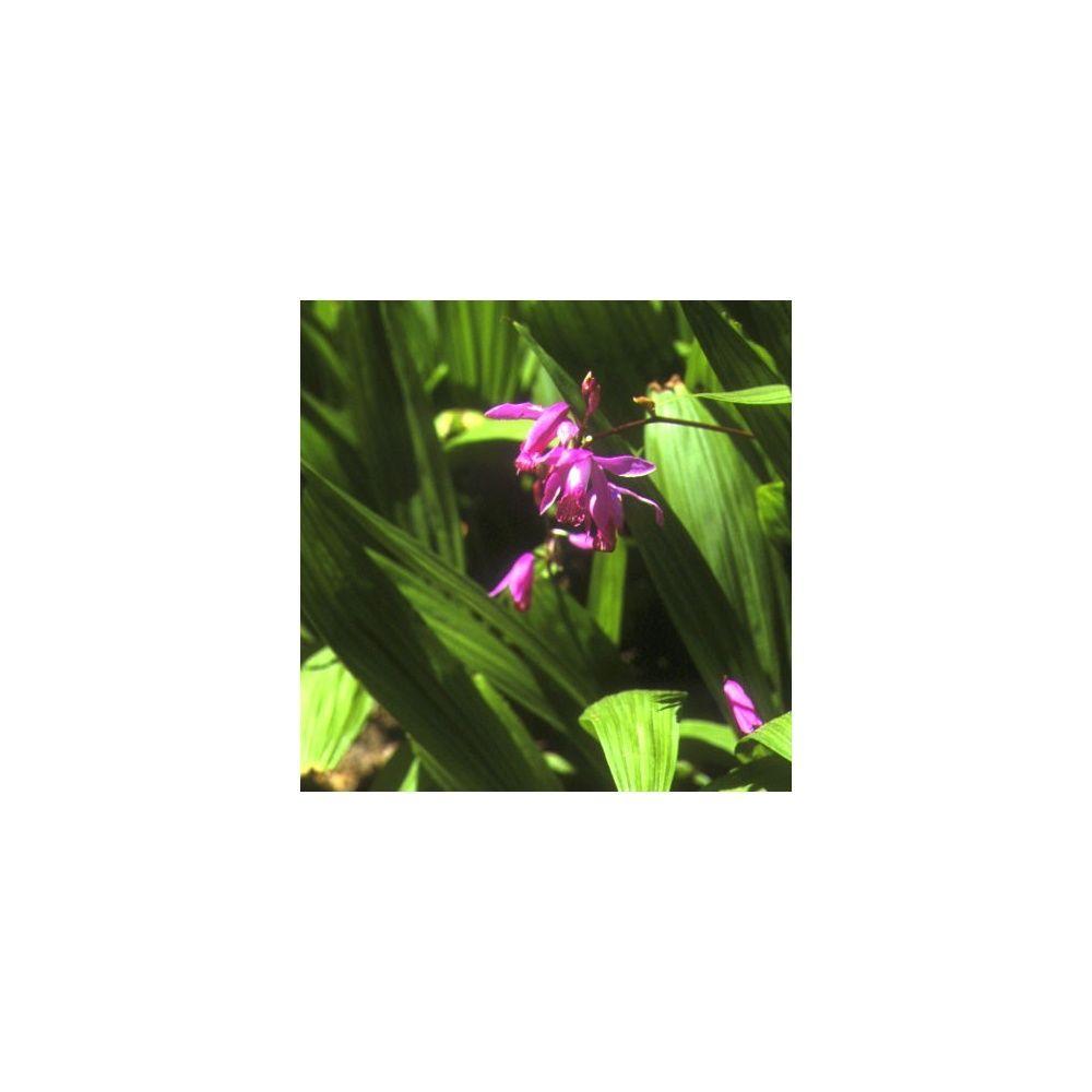 Orchidée de jardin (lot de 2) Bulbe, calibre I - Gamm Vert
