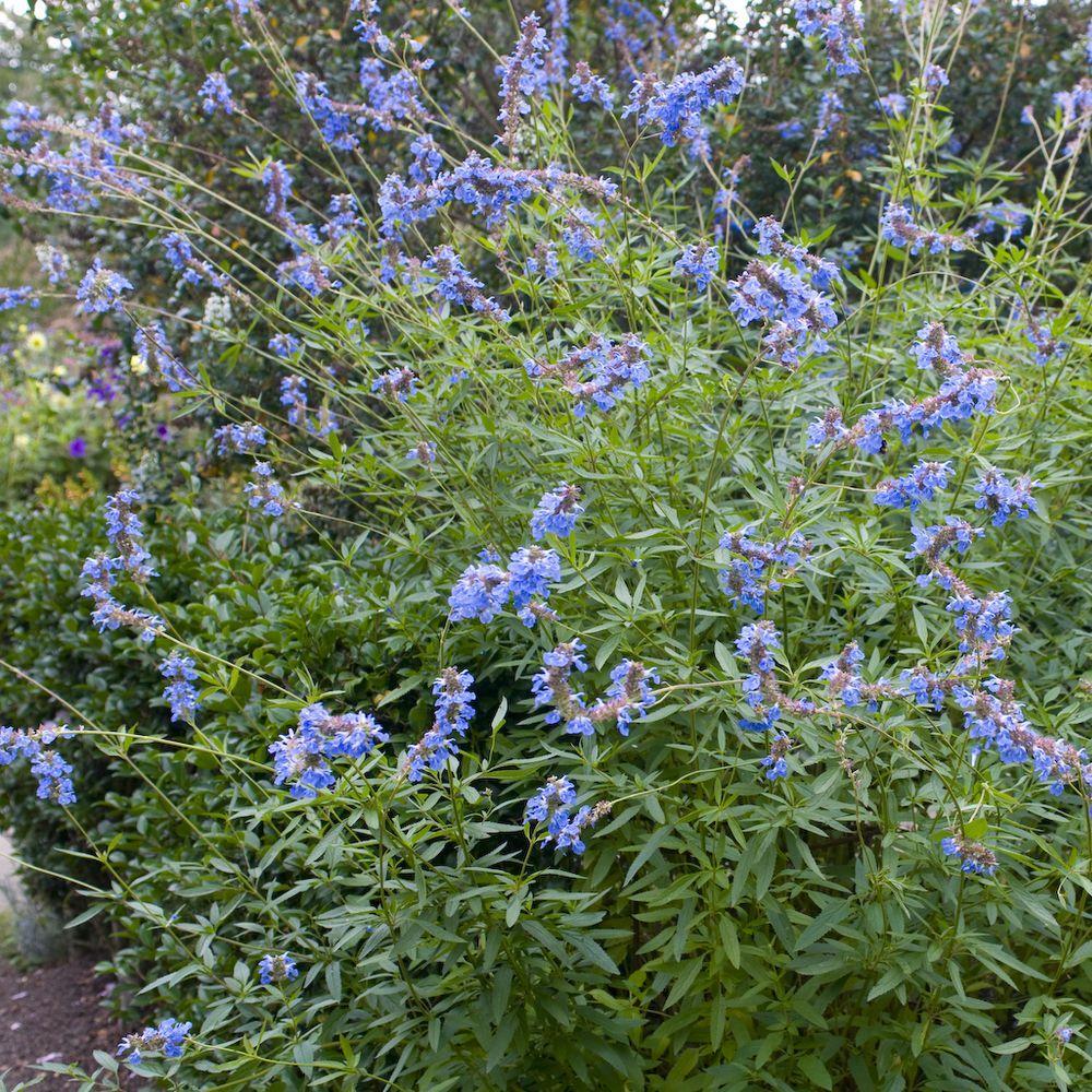 Sauge des marais bleue – Salvia uliginosa