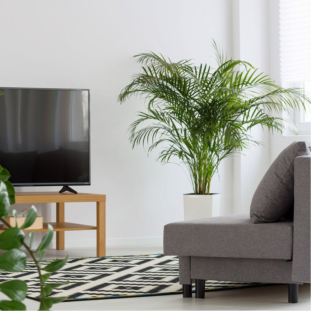 palmier areca lutescens dypsis en pot de 21cm hauteur avec pot 100cm gamm vert. Black Bedroom Furniture Sets. Home Design Ideas