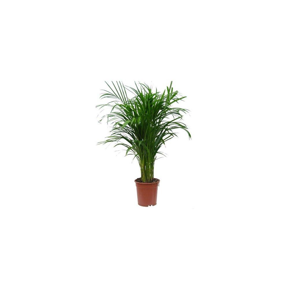 palmier areca lutescens dypsis en pot de 21cm hauteur avec pot 100cm gamm vert. Black Bedroom Furniture Sets. Home Design Ideas
