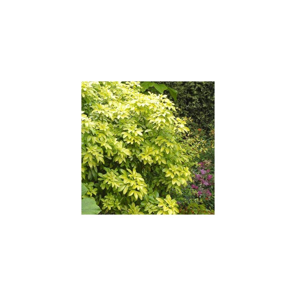 Oranger du mexique 39 sundance 39 pot de 5 litres hauteur 40 50 cm gamm vert - Oranger du mexique en pot ...