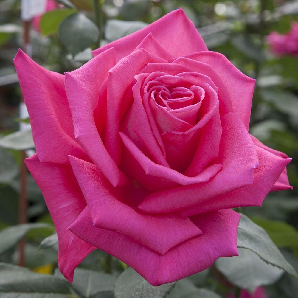 Rosier 'Lolita Lempicka ®' Meizincaro – Rosier Meilland