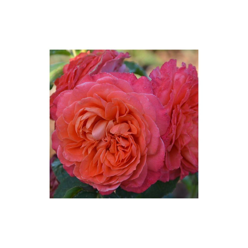 Rosier Generosa ® 'Emilien Guillot ®' – Rosier Guillot