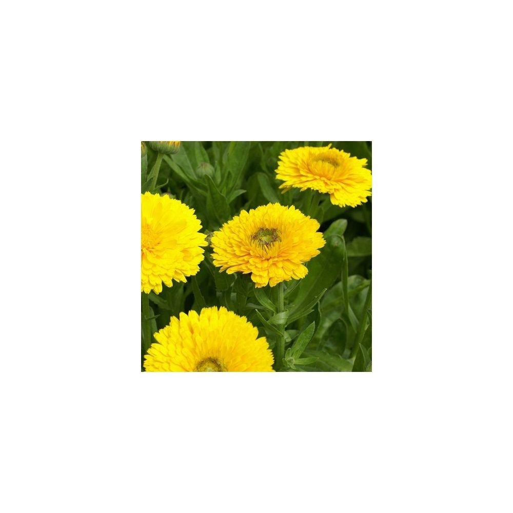 Fleurs utiles au jardin potager for Fleurs thes au jardin