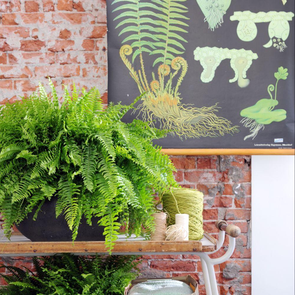 foug re nephrolepis boston 17 cm en pot de 17cm hauteur 40cm gamm vert. Black Bedroom Furniture Sets. Home Design Ideas
