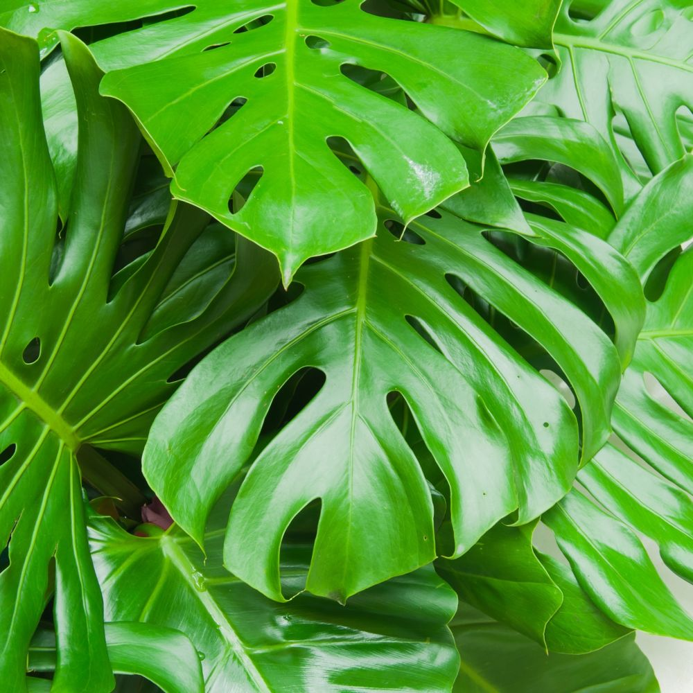 philodendron monstera en pot de 10 cm gamm vert. Black Bedroom Furniture Sets. Home Design Ideas