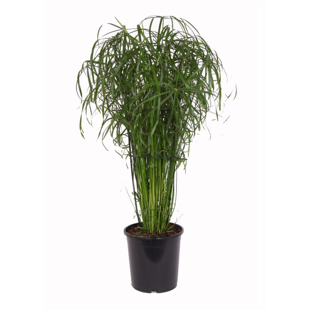 papyrus cyperus alternifolius en pot de 21cm hauteur avec pot 65cm gamm vert. Black Bedroom Furniture Sets. Home Design Ideas