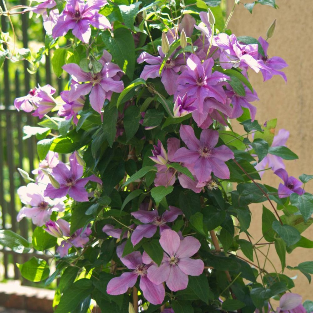 Clematite SUCCESS ® Candy 'Tra415'