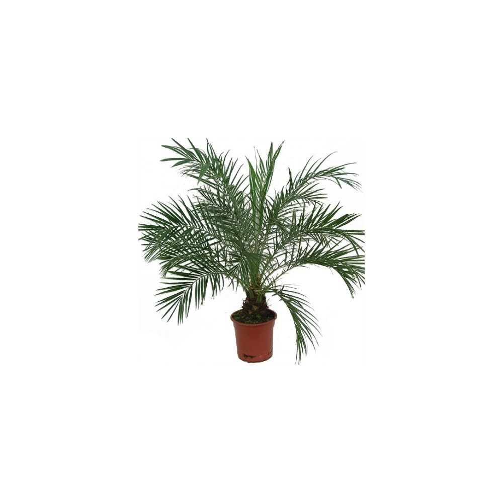 palmier phoenix canariensis en pot de 15cm hauteur 65cm gamm vert. Black Bedroom Furniture Sets. Home Design Ideas