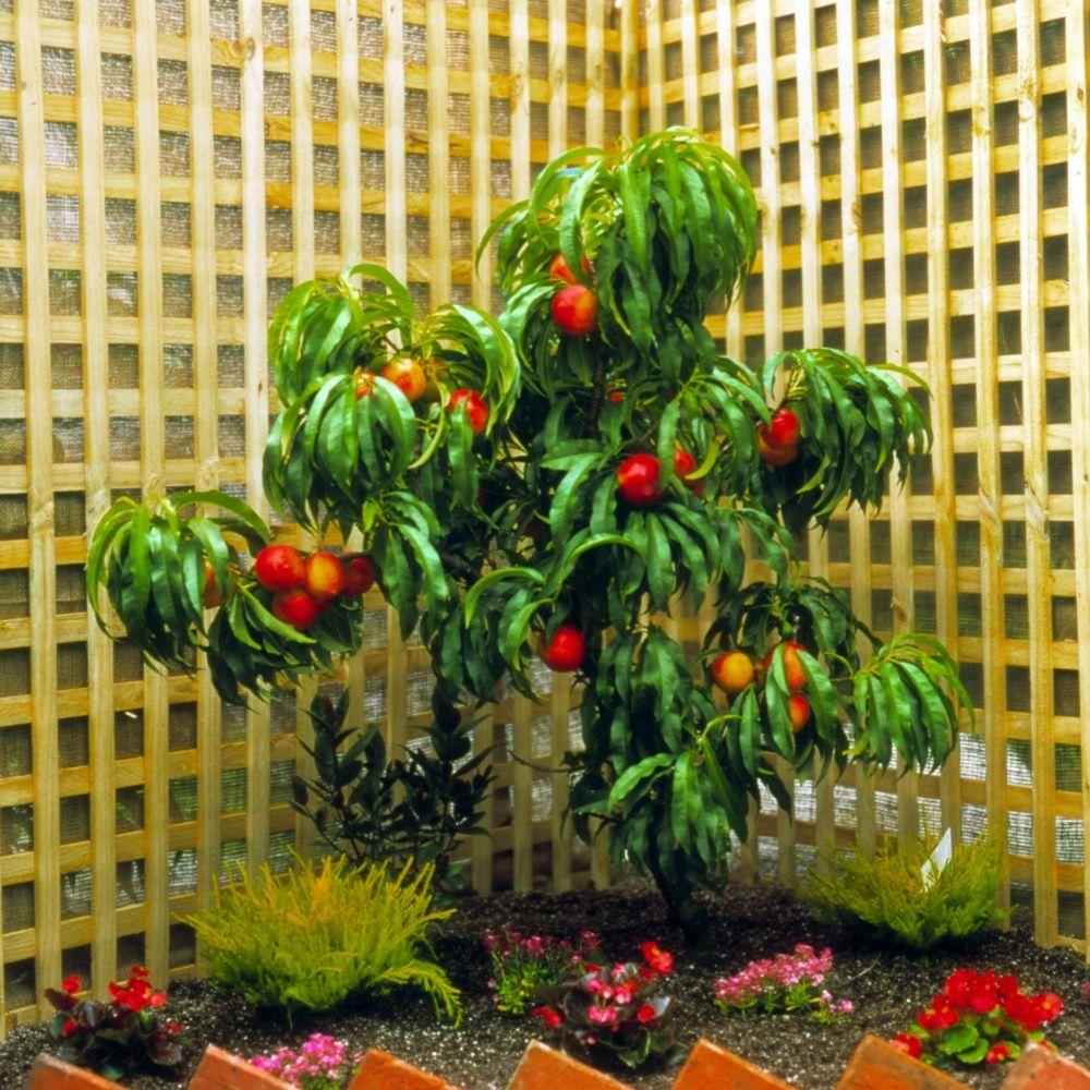 nectarinier nain 39 rubis 39 en pot en pot d co de 6 litres hauteur totale 40 60cm gamm vert. Black Bedroom Furniture Sets. Home Design Ideas
