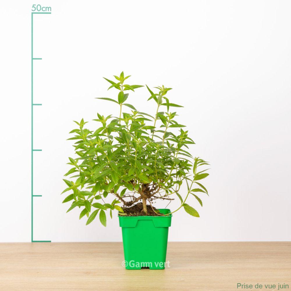 verveine citronelle le pot de 14 cm gamm vert. Black Bedroom Furniture Sets. Home Design Ideas