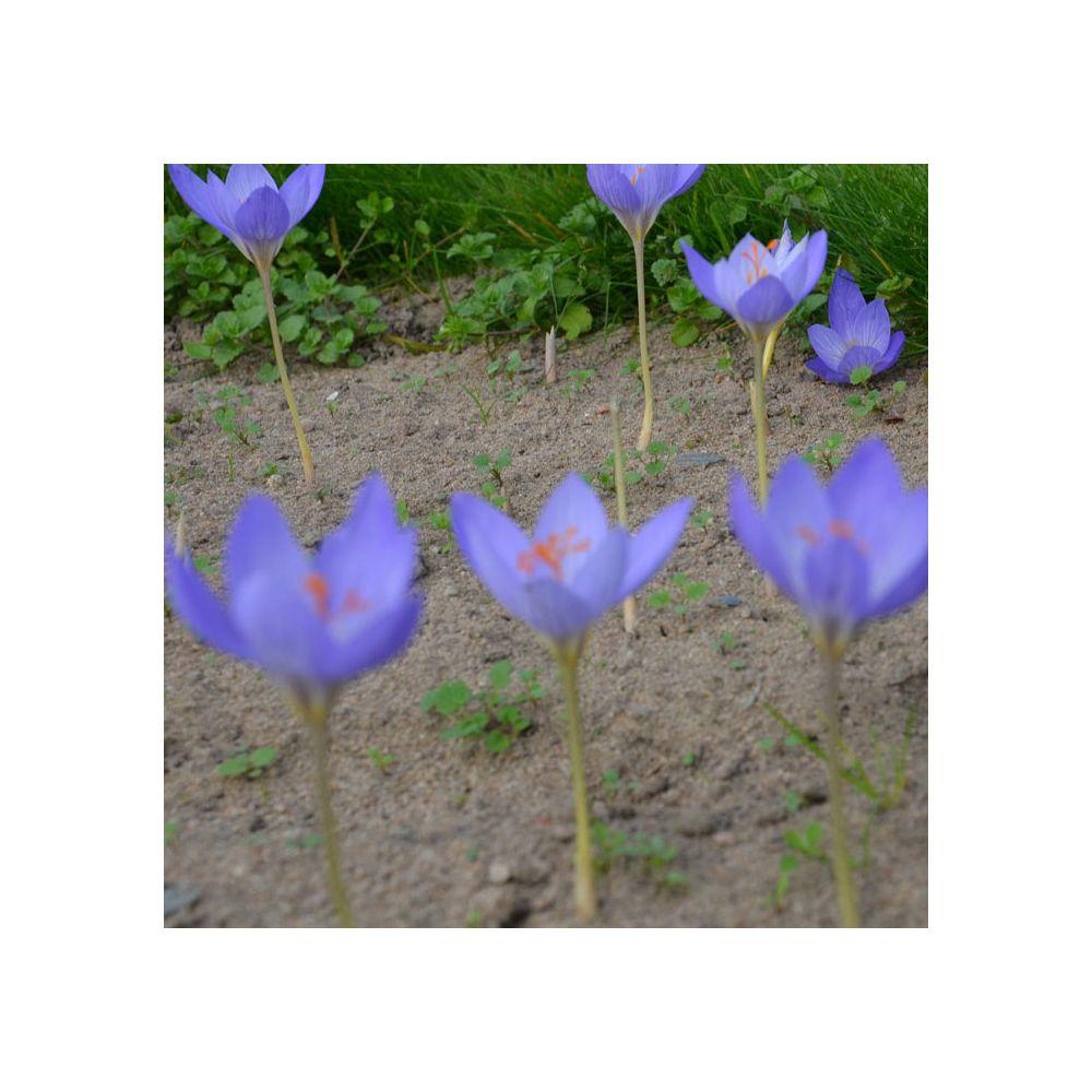 Crocus speciosus 39 aitchinsonii 39 lot de 9 bulbes calibre 5 gamm vert - Bulbes a floraison automnale ...