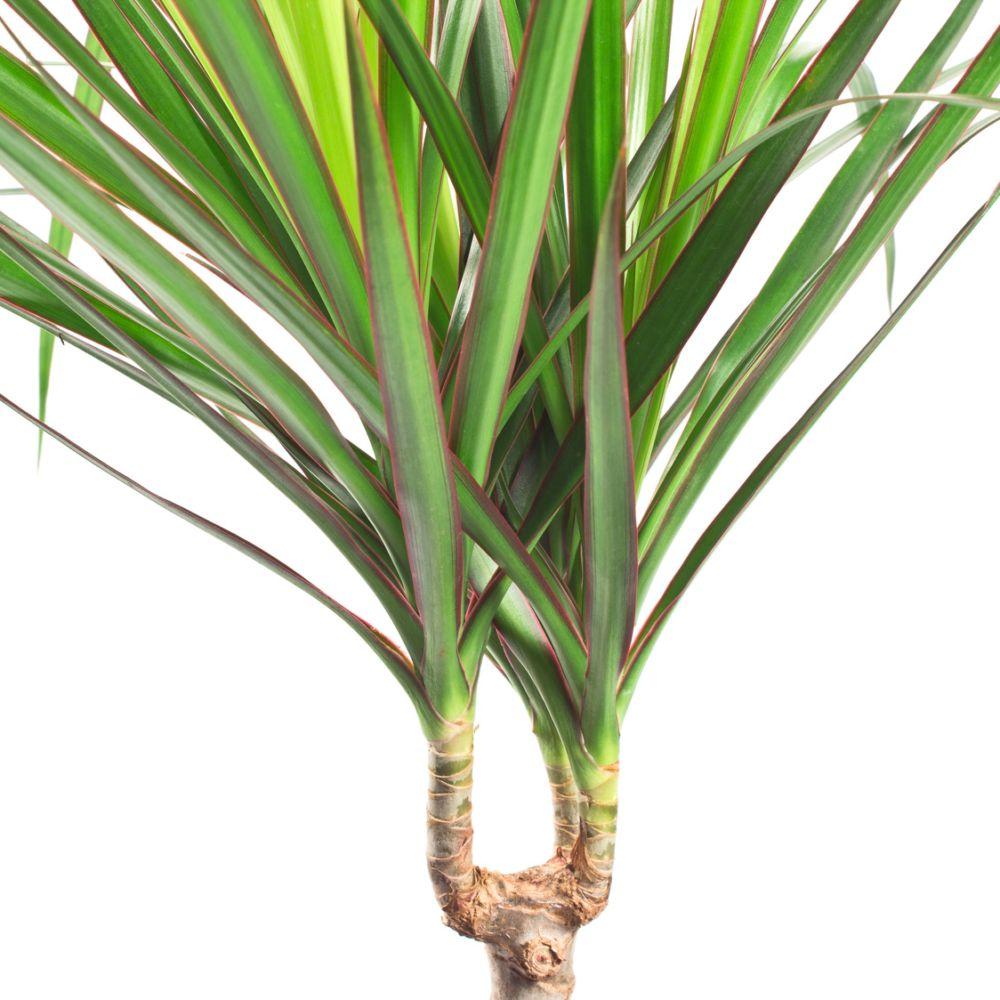 plante interieur dracena