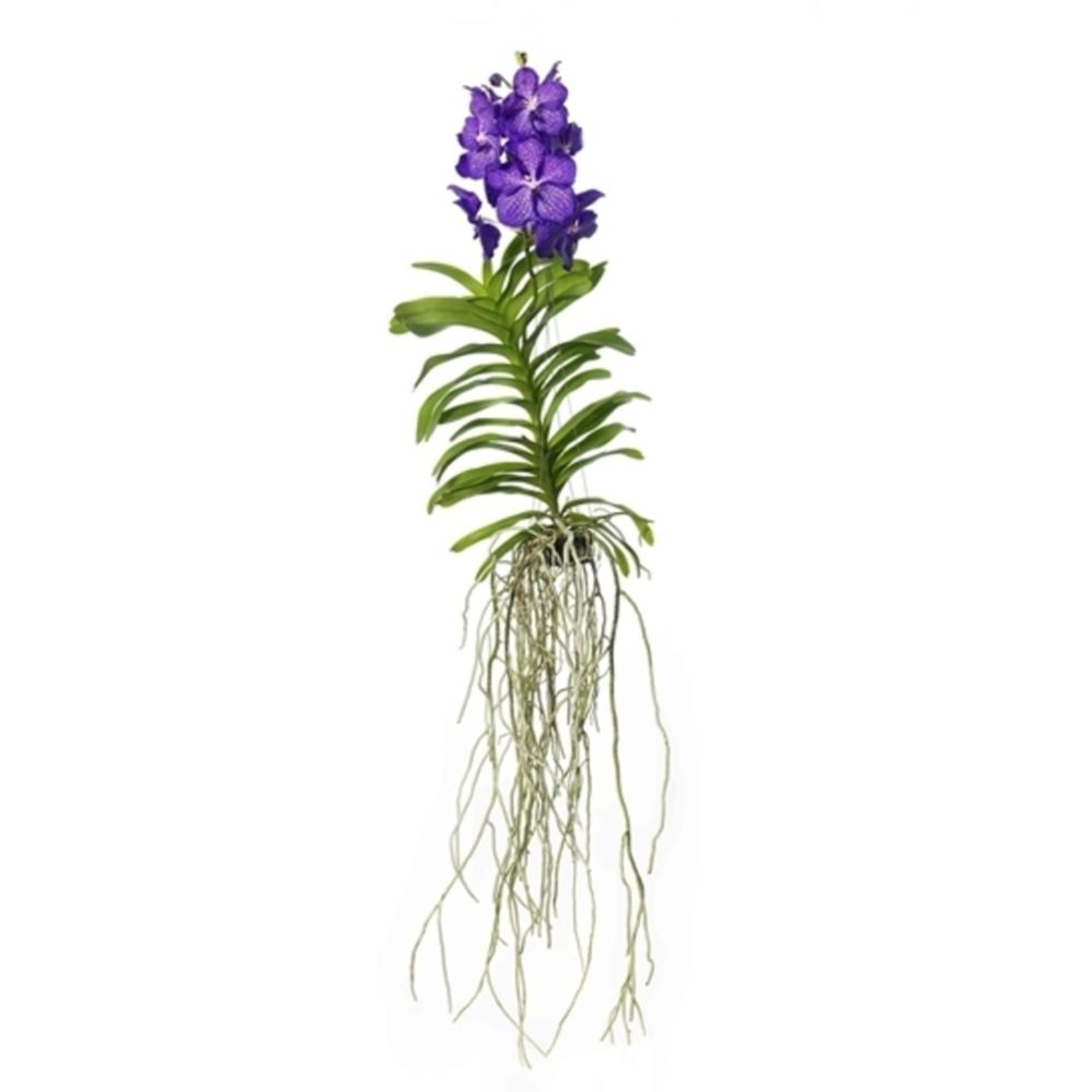orchidee vanda magic blue