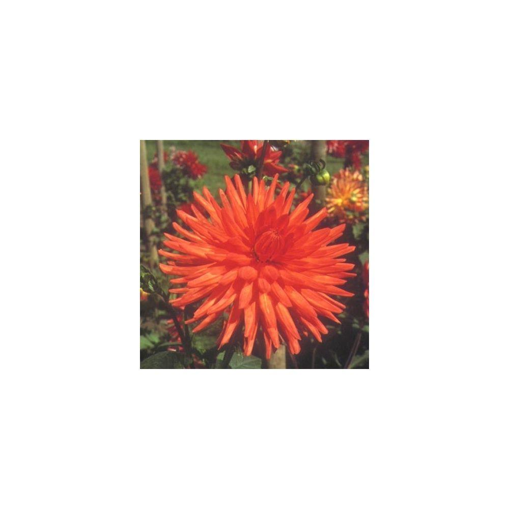 dahlia cactus 'alizé®' tubercule calibre i - gamm vert