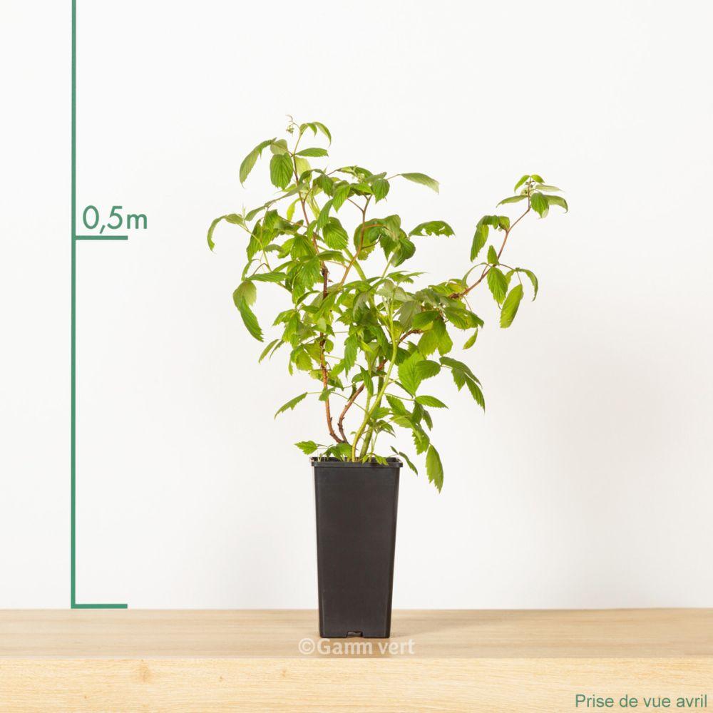 framboisier 39 h ritage 39 pot de 2 litres pot haut gamm vert. Black Bedroom Furniture Sets. Home Design Ideas