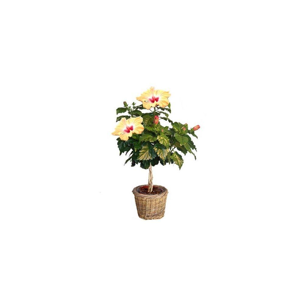 hibiscus tige jaune cache pot livraison express pot 24cm de diam tre hauteur 100cm cache. Black Bedroom Furniture Sets. Home Design Ideas