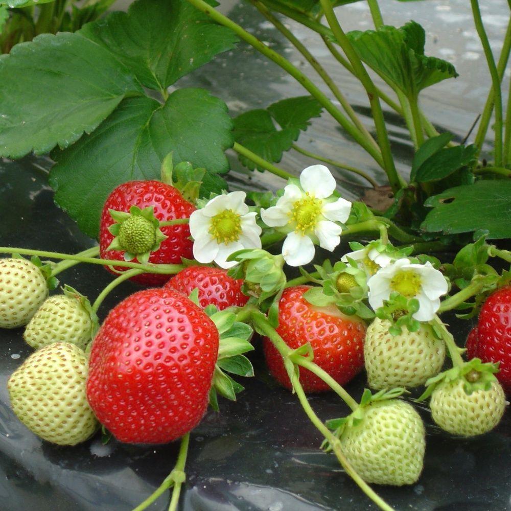 ou planter fraisier exposition