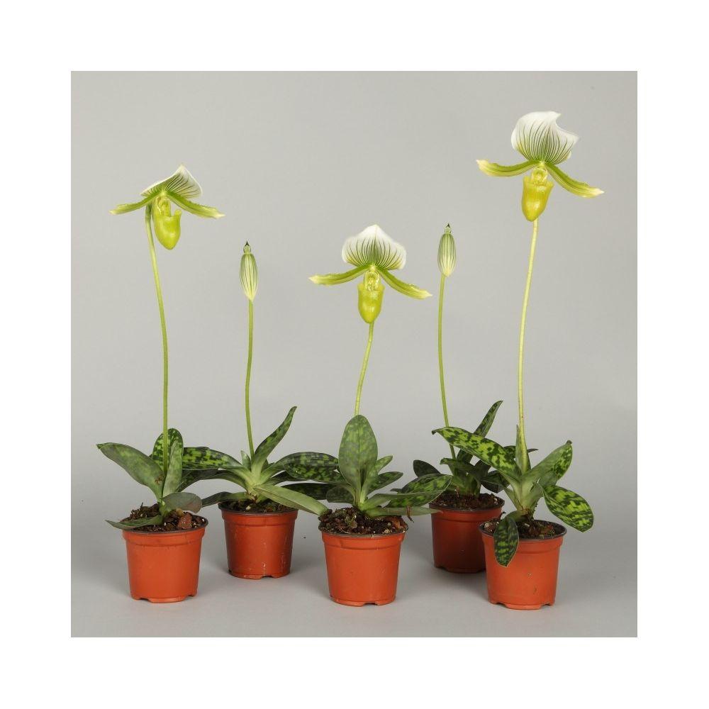 Orchid e sabot de v nus paphiopedilum maudiae femma en pot - Orchidee sabot de venus ...