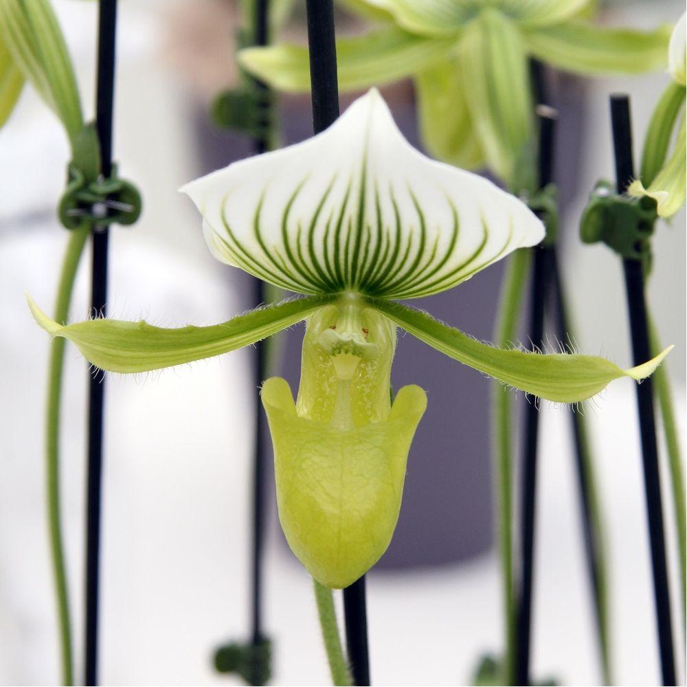 orchid e sabot de v nus paphiopedilum maudiae femma en pot de 9cm hauteur avec pot 30cm gamm. Black Bedroom Furniture Sets. Home Design Ideas
