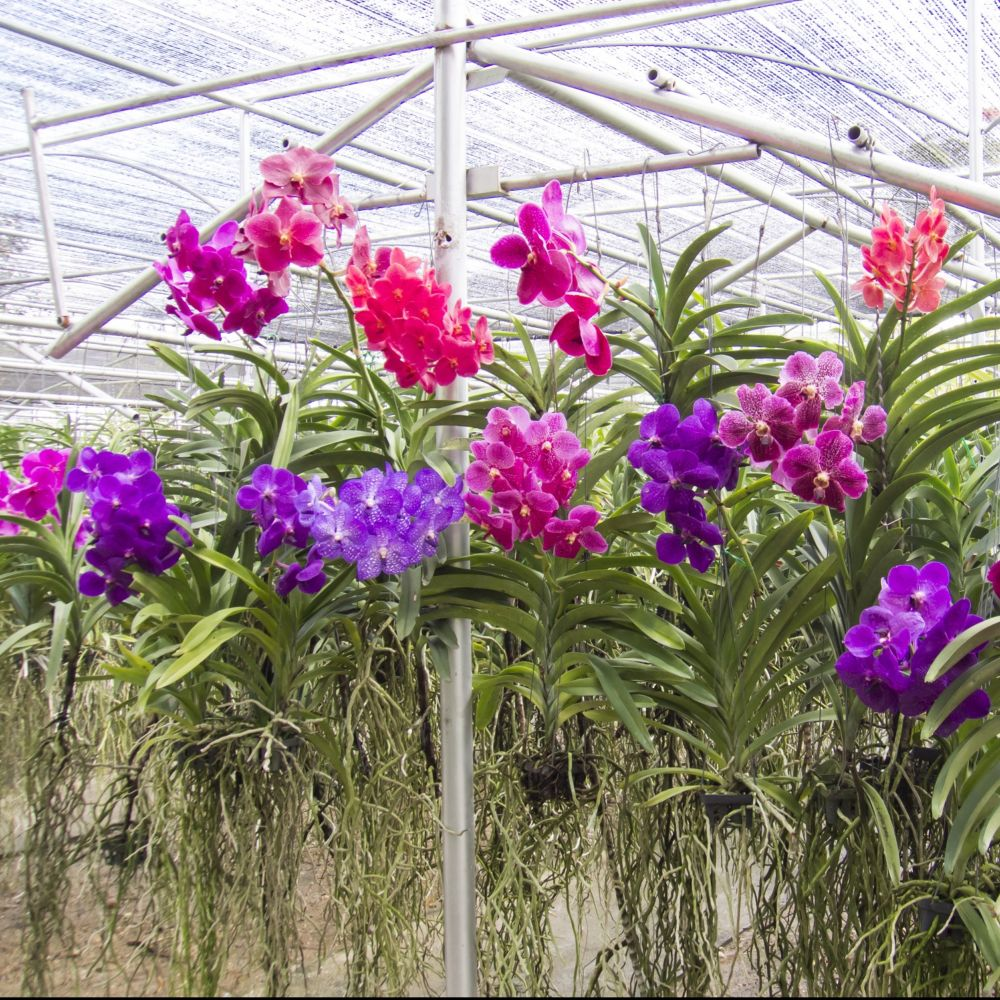 orchidee vanda paris