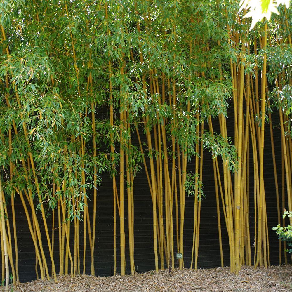 Bambou moyen phyllostachys aurea 39 holochrysa 39 pot de 7 for Bambou moyen phyllostachys bissetii