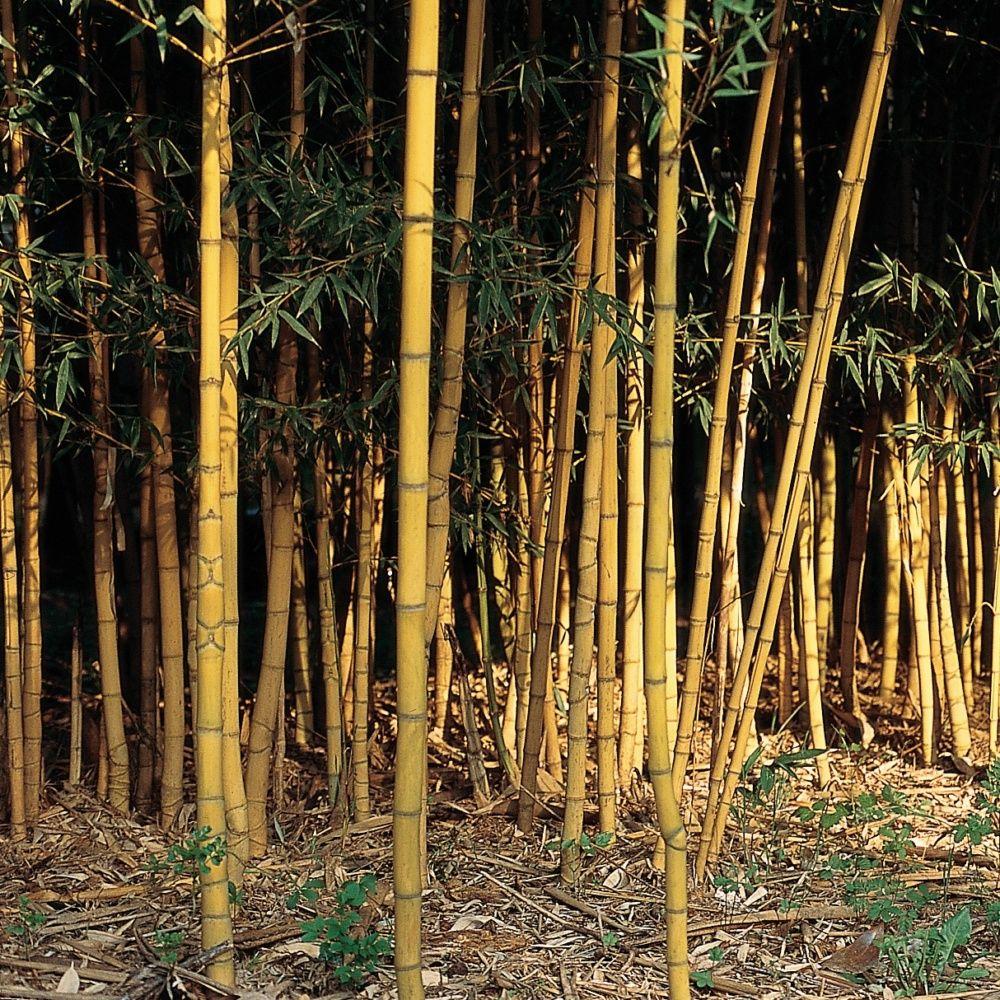 bambou moyen phyllostachys aurea 39 holochrysa 39 pot de 7 litres hauteur 100 150 cm gamm vert. Black Bedroom Furniture Sets. Home Design Ideas