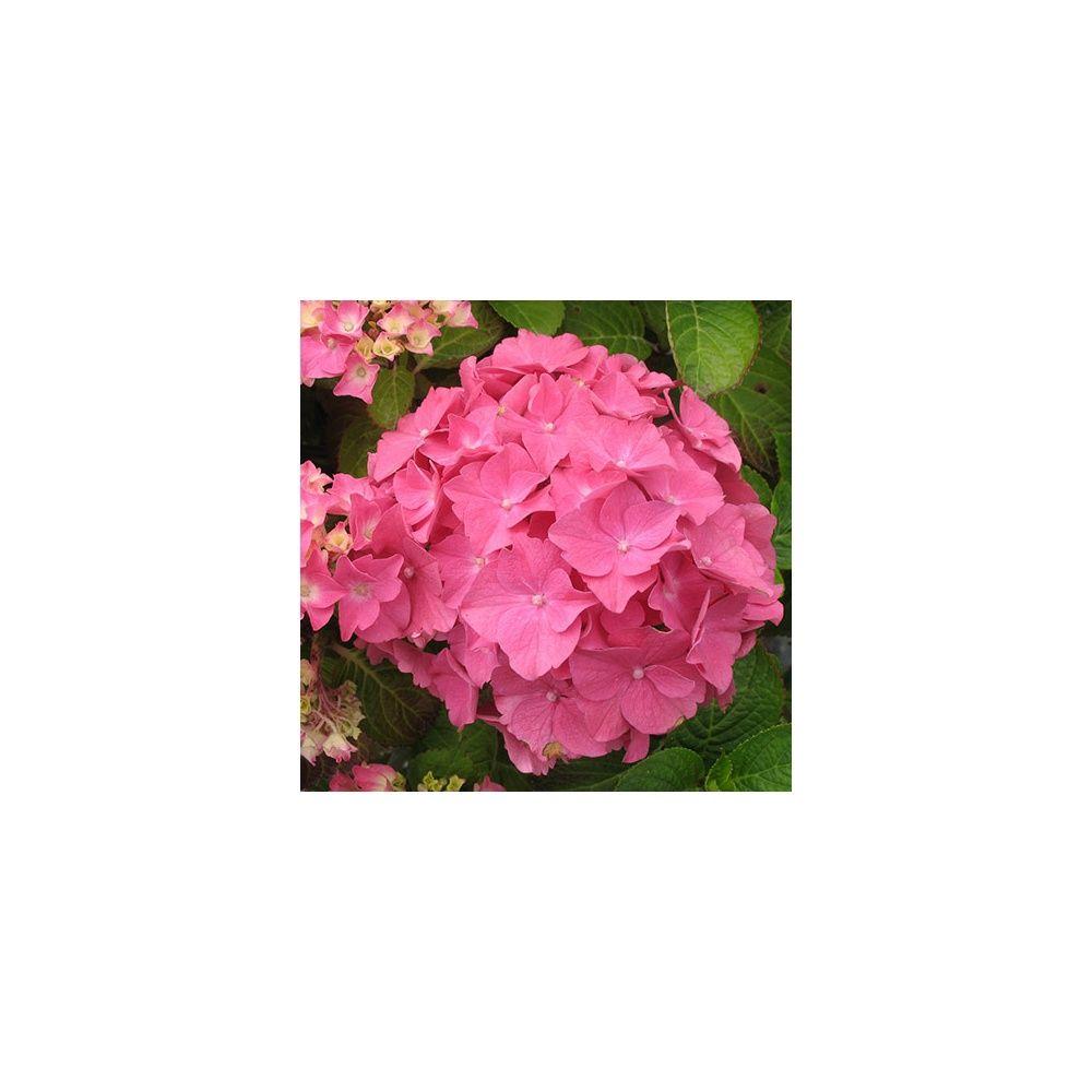 entretien hivernage hortensia