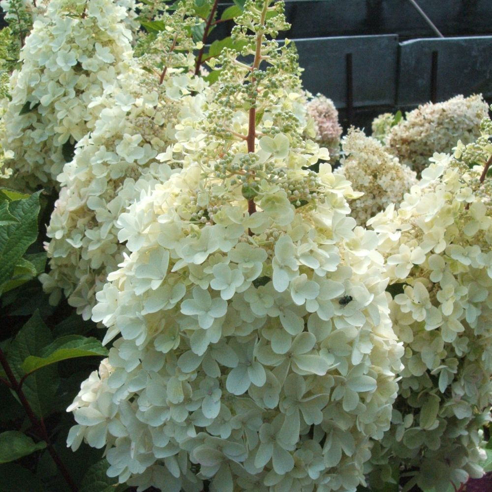 hortensia paniculata 39 pinky winky 39 pot de 4 litres gamm vert. Black Bedroom Furniture Sets. Home Design Ideas