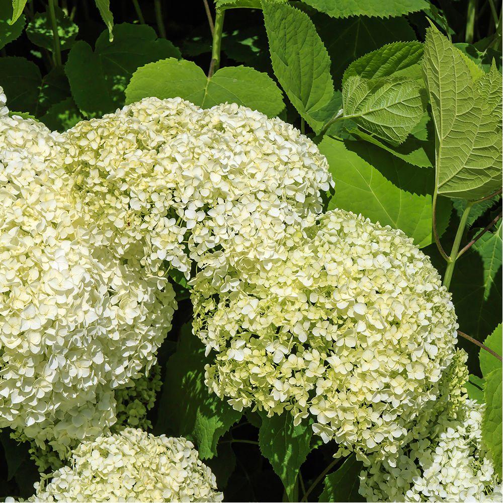 Hortensia boule de neige 39 annabelle 39 en pot de 10 litres - Boule de neige plante ...