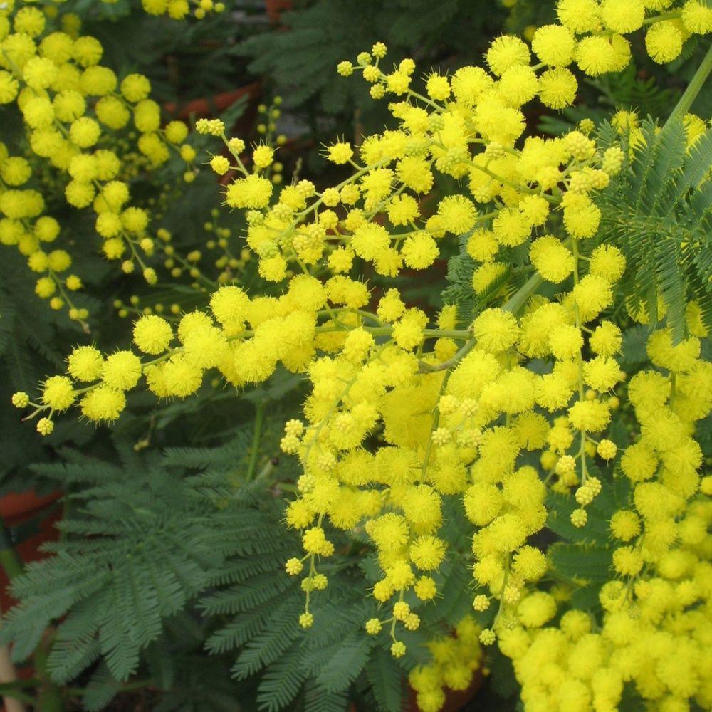 mimosa d 39 hiver pot de 4 litres jaune gamm vert. Black Bedroom Furniture Sets. Home Design Ideas