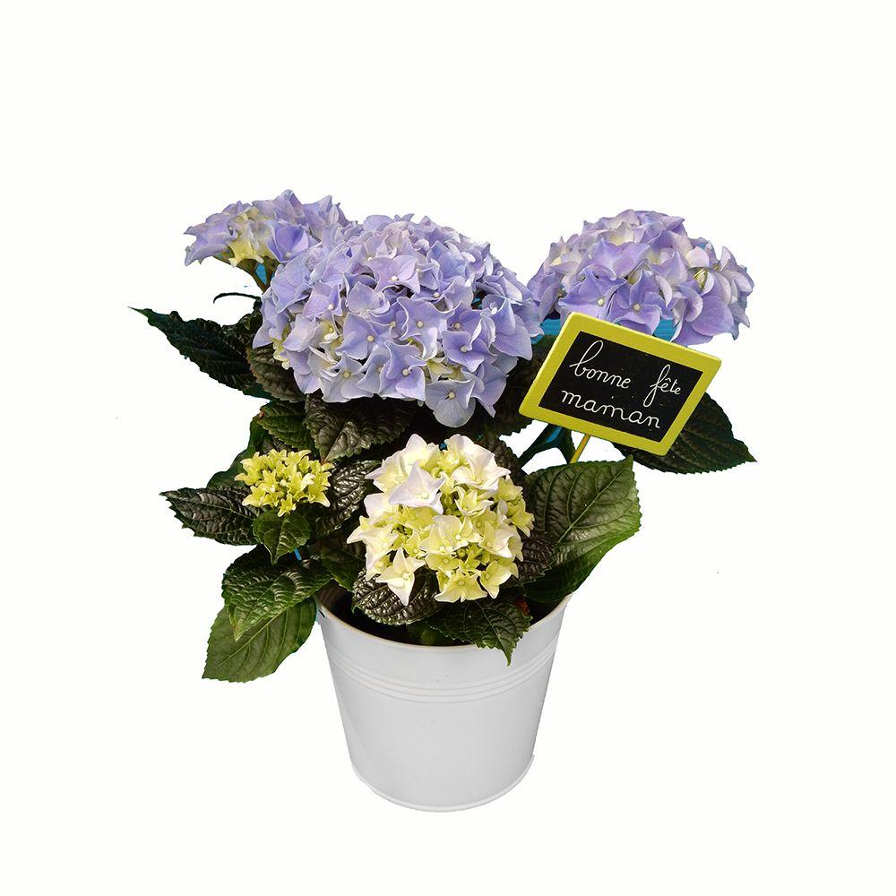 Spécial fête des mères : hortensia bleu + pot zinc bleu