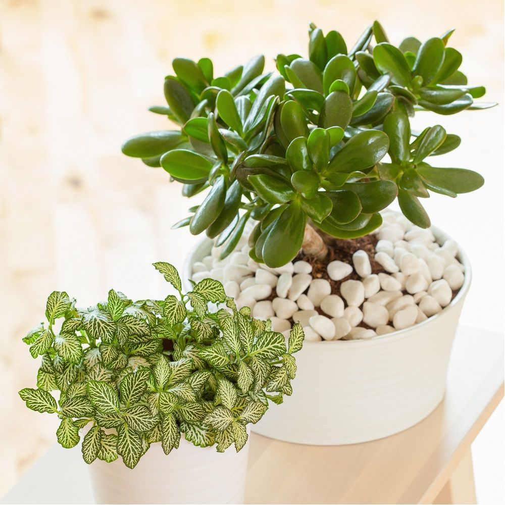 crassula minor plante grasse en pot de 17cm hauteur 30cm gamm vert. Black Bedroom Furniture Sets. Home Design Ideas