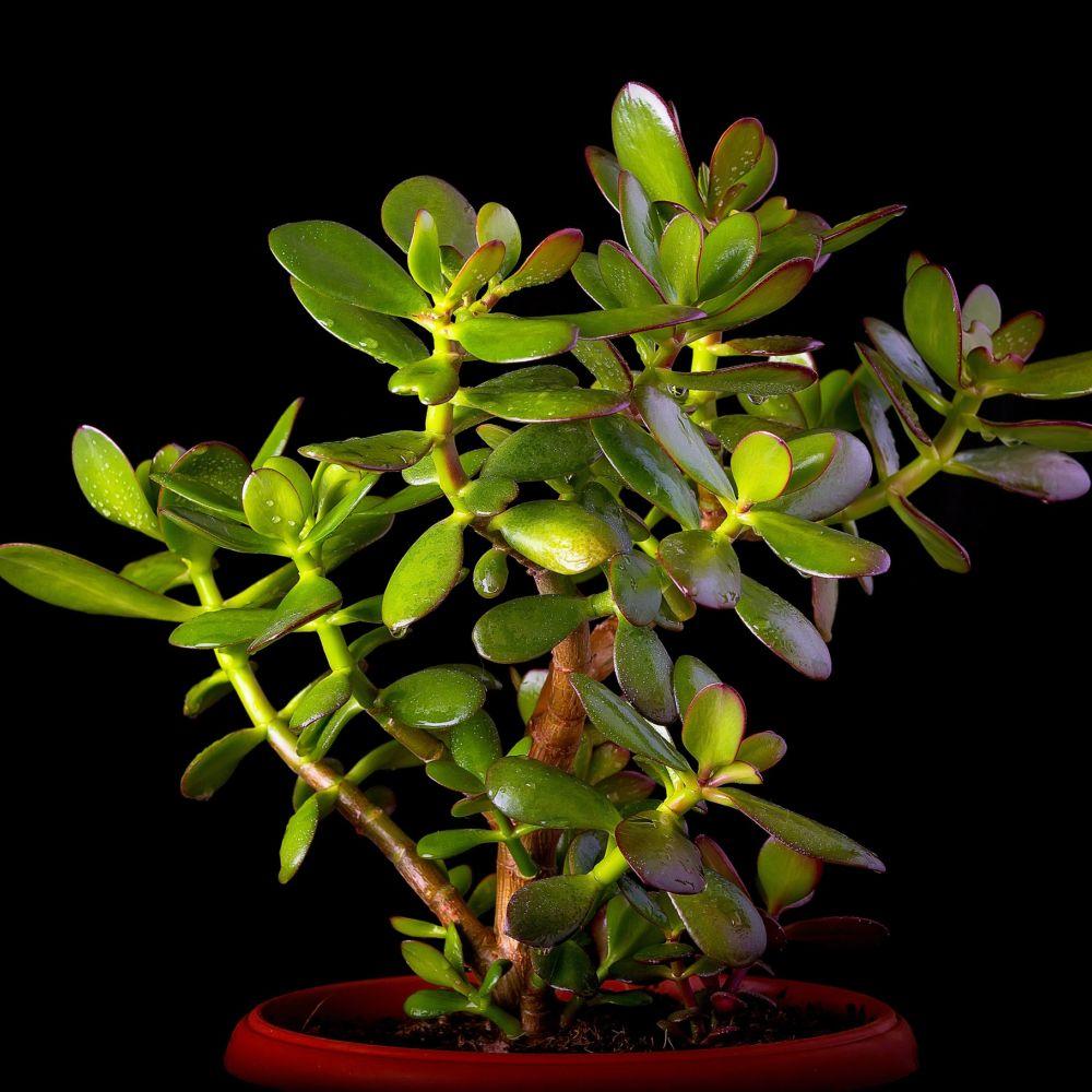 crassula minor plante grasse en pot de 17cm hauteur. Black Bedroom Furniture Sets. Home Design Ideas