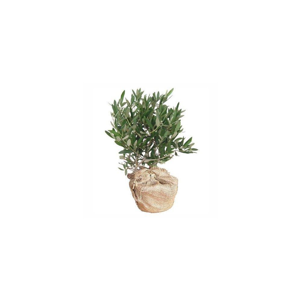 Olivier en pot cadeau 50cm livraison express pot d co - Maladie de l olivier en pot ...