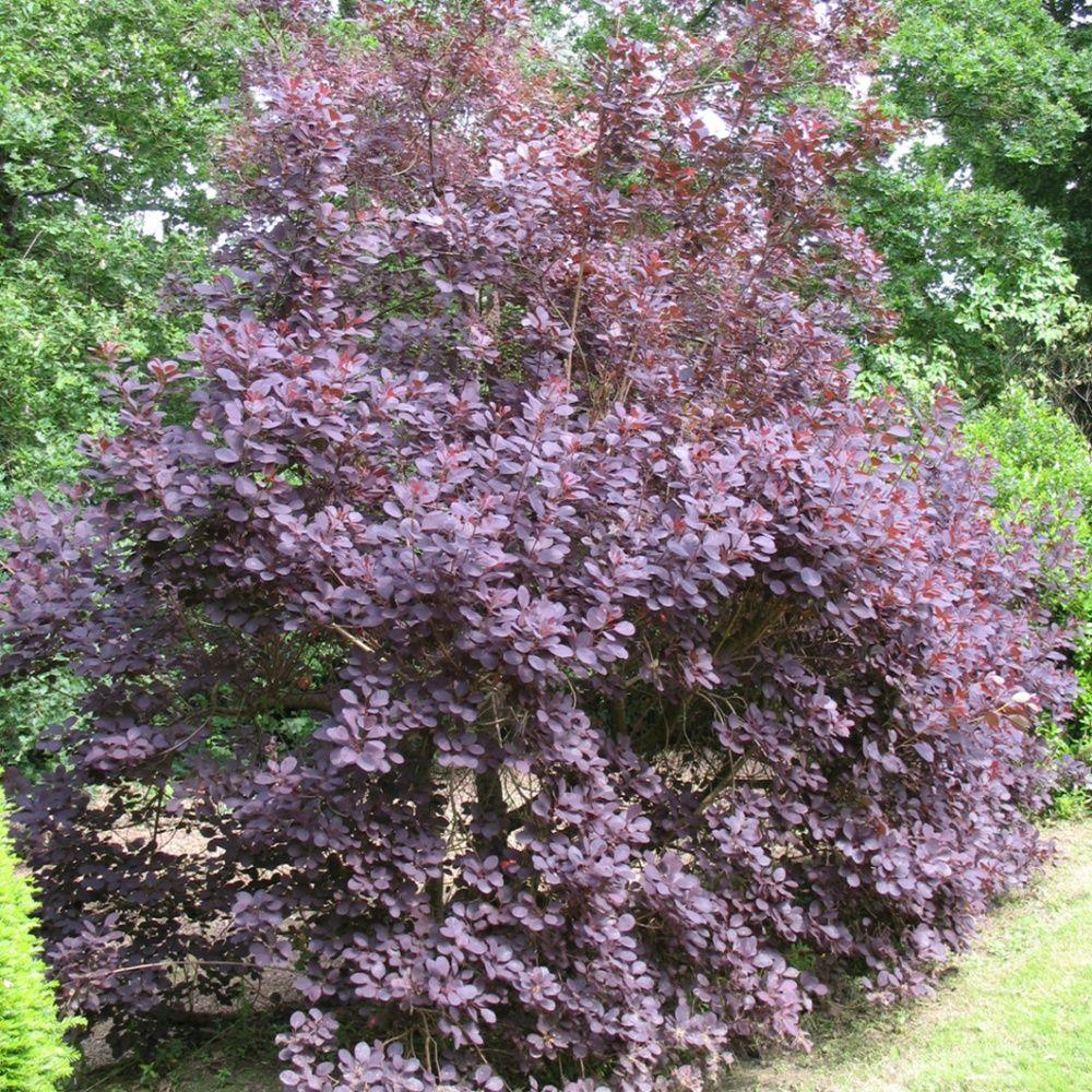 arbre perruques 39 royal purple 39 pot de 4 litres gamm vert. Black Bedroom Furniture Sets. Home Design Ideas
