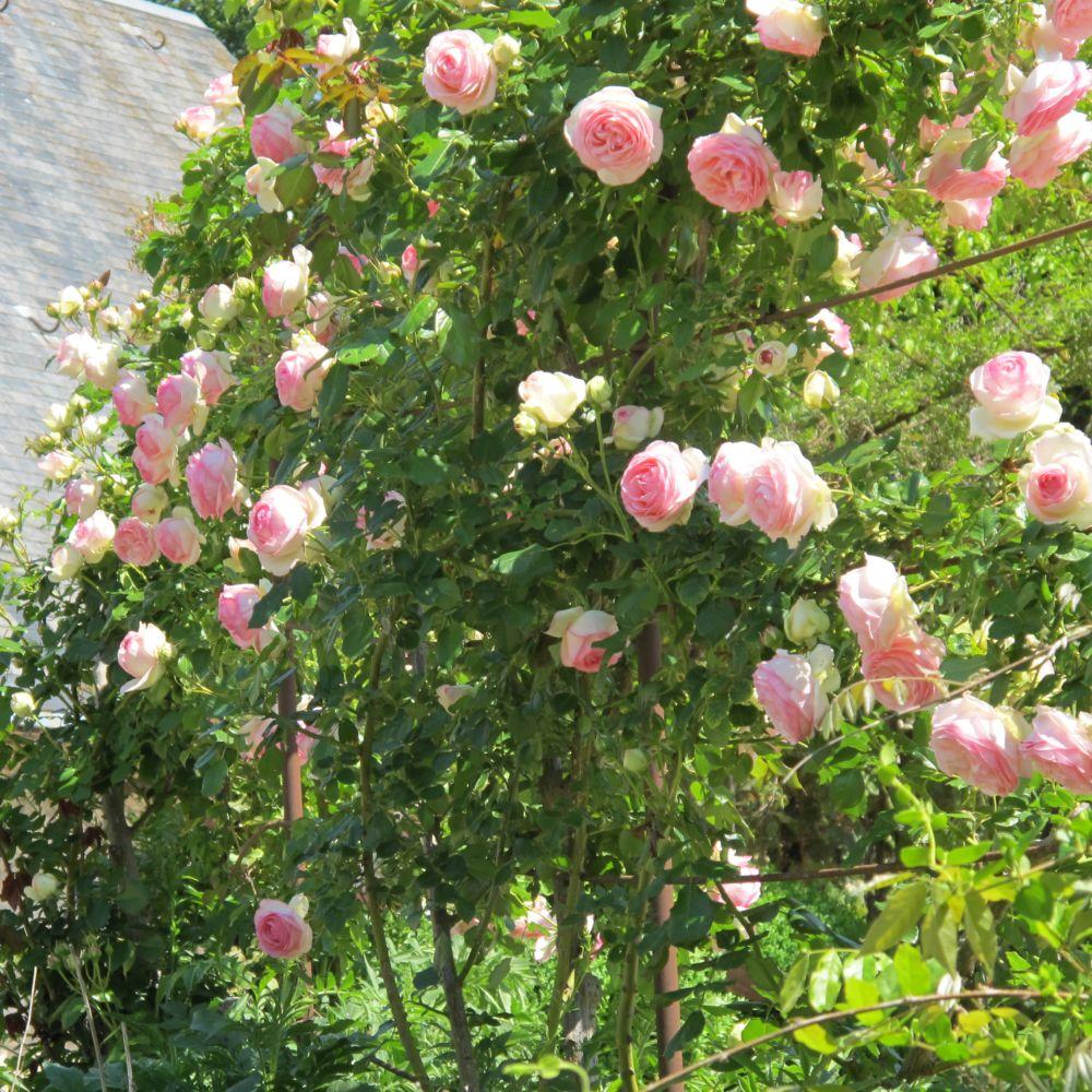 Rosier grimpant 39 pierre de ronsard 39 meiviolin rosier for Rosier jardin de france