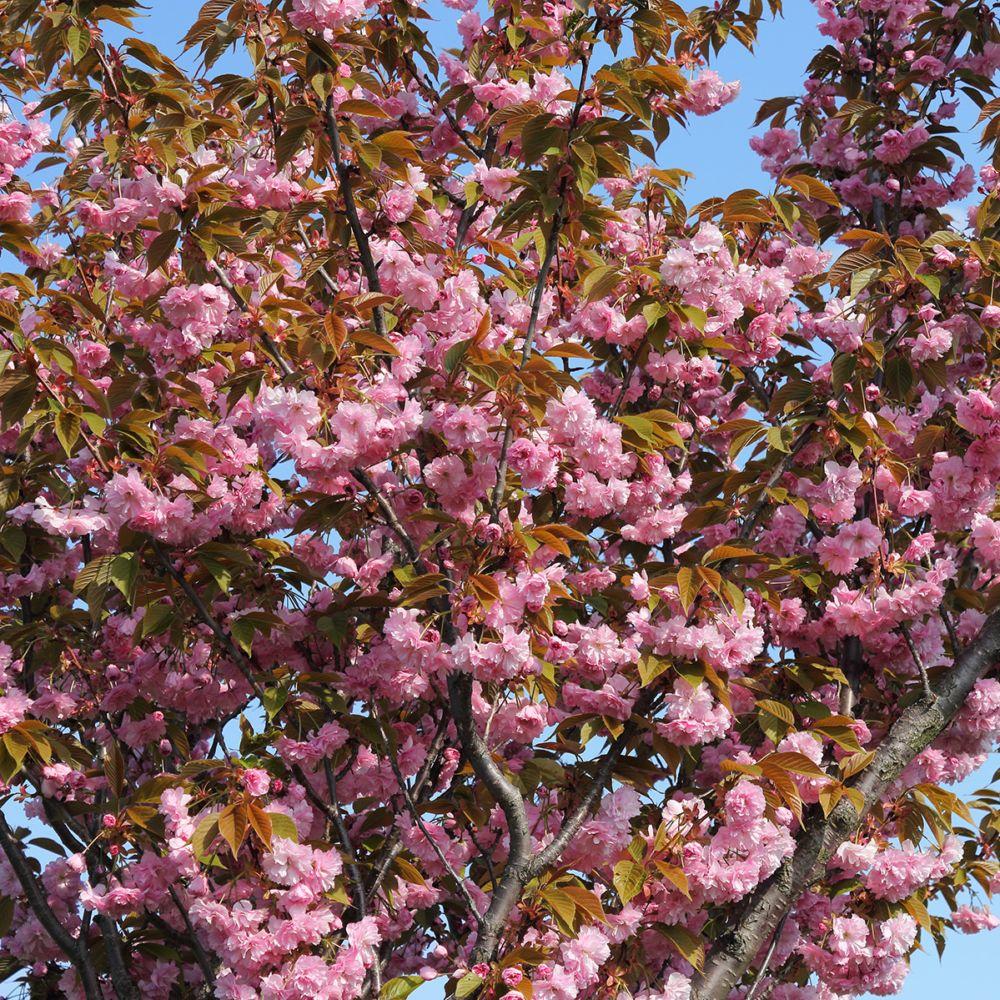 cerisier fleurs 39 kanzan 39 pot de 20 litres demi tige 12 14 cm de circonf rence gamm vert. Black Bedroom Furniture Sets. Home Design Ideas
