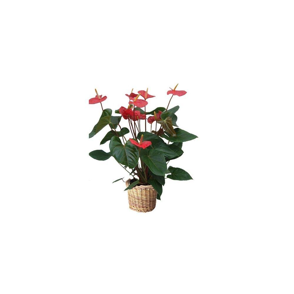anthurium rouge + cache pot >> livraison express hauteur 65/70cm