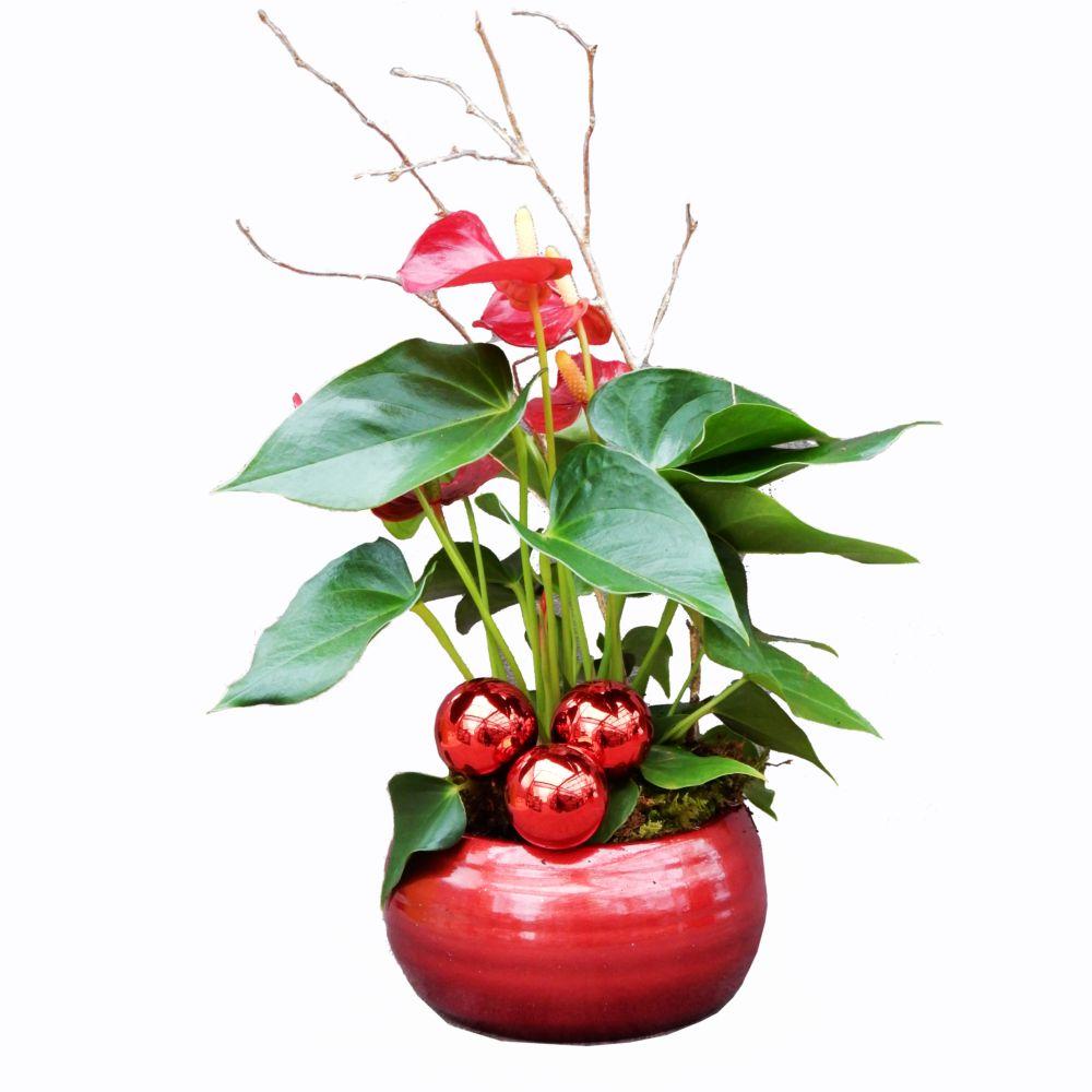 sélection noël - anthurium rouge en pot rond rouge hauteur totale 30
