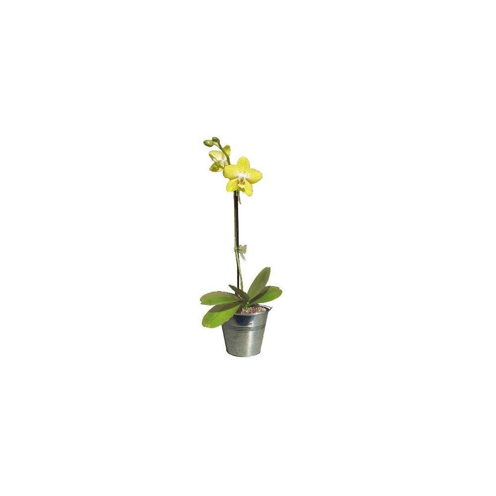 Orchid e phalaenopsis jaune clair en fleurs 1 hampe florale ramifi e cache pot zinc - Pot de fleur en zinc ...