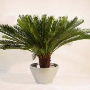 Palmiers Du0027intérieur