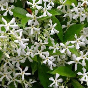 plante grimpante fleur blanche