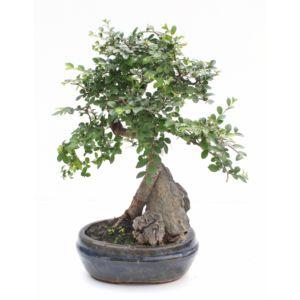 Entretien et arrosage du bonsaï | Gamm vert