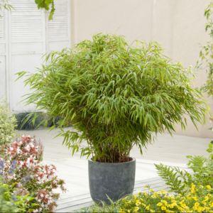 Bambou non traçant : Fargesia rufa