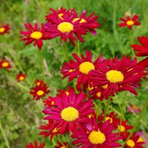Pyrèthre rouge Robinson\u0027s Red
