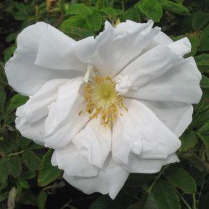 Rosa rugosa 'White perfection'